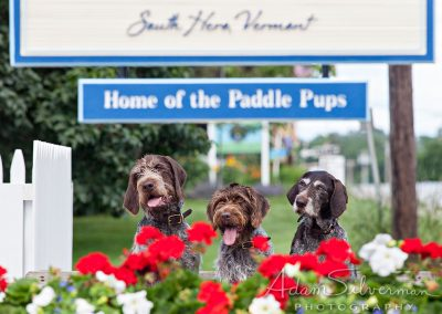 Three German Wirehaired Pointers