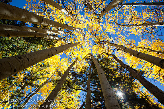 Looking upward at aspen trees.